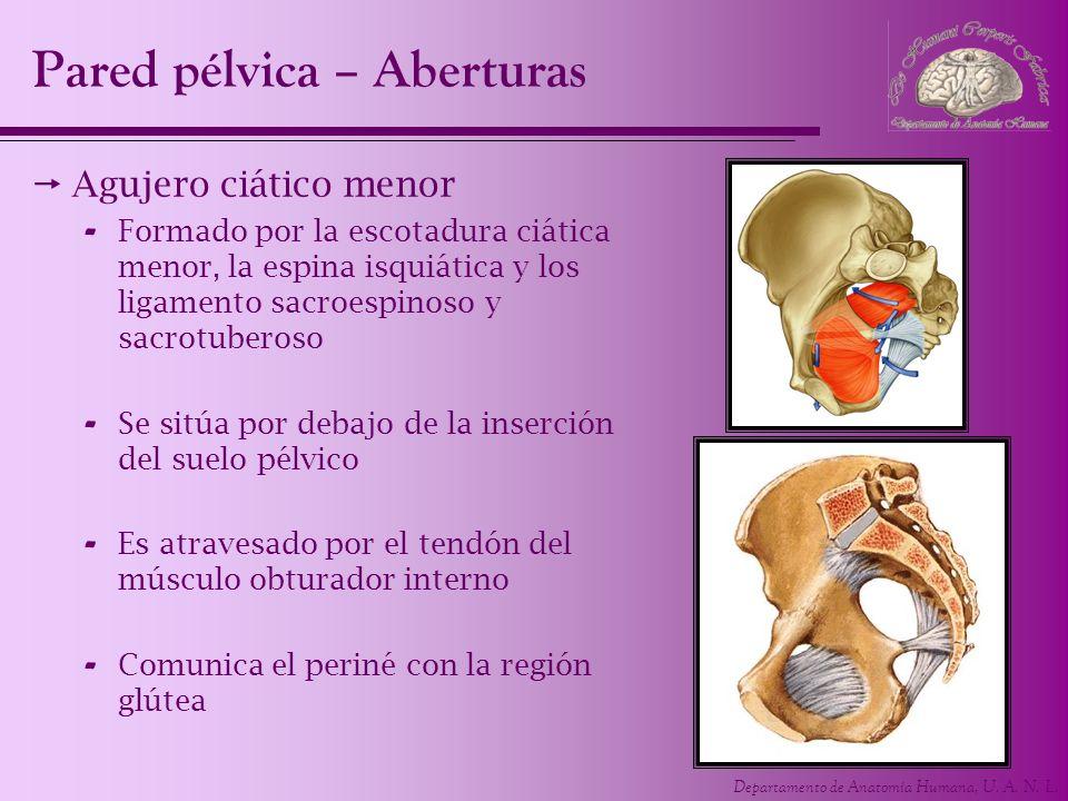 Departamento de Anatomía Humana, U. A. N. L. Pared pélvica – Aberturas Agujero ciático menor - Formado por la escotadura ciática menor, la espina isqu