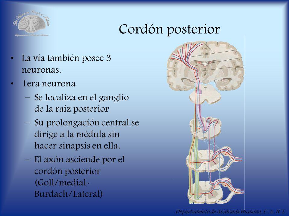 Departamento de Anatomía Humana, U.A. N. L. Cordón posterior La vía también posee 3 neuronas.