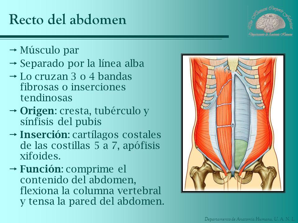 Departamento de Anatomía Humana, U. A. N. L. Recto del abdomen Músculo par Separado por la línea alba Lo cruzan 3 o 4 bandas fibrosas o inserciones te