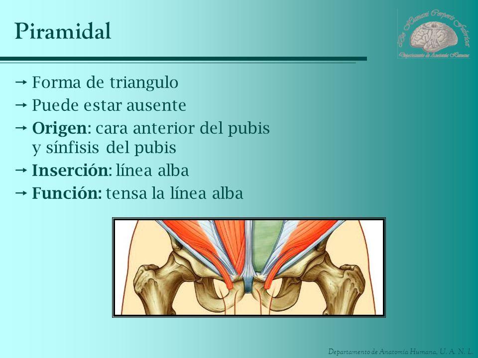 Departamento de Anatomía Humana, U. A. N. L. Piramidal Forma de triangulo Puede estar ausente Origen: cara anterior del pubis y sínfisis del pubis Ins