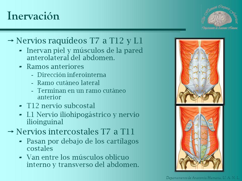 Departamento de Anatomía Humana, U. A. N. L. Inervación Nervios raquídeos T7 a T12 y L1 - Inervan piel y músculos de la pared anterolateral del abdome