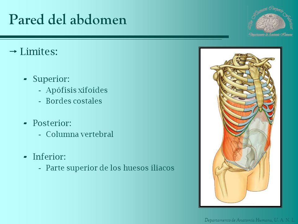 Departamento de Anatomía Humana, U. A. N. L. Pared del abdomen Limites: - Superior: -Apófisis xifoides -Bordes costales - Posterior: -Columna vertebra