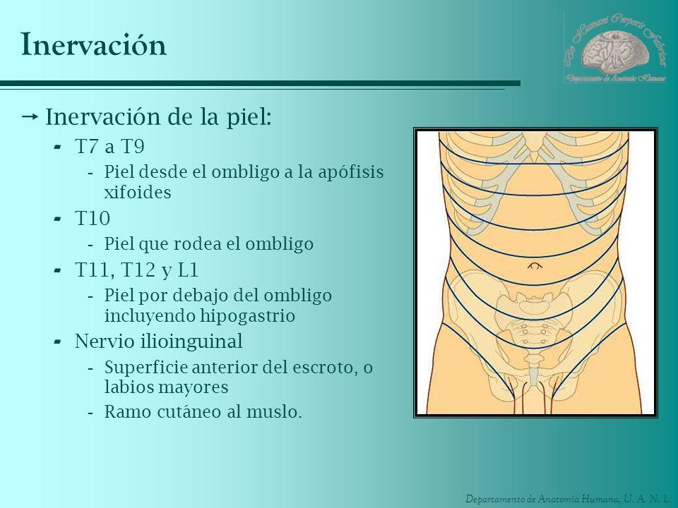 Departamento de Anatomía Humana, U. A. N. L. Inervación Inervación de la piel: - T7 a T9 -Piel desde el ombligo a la apófisis xifoides - T10 -Piel que