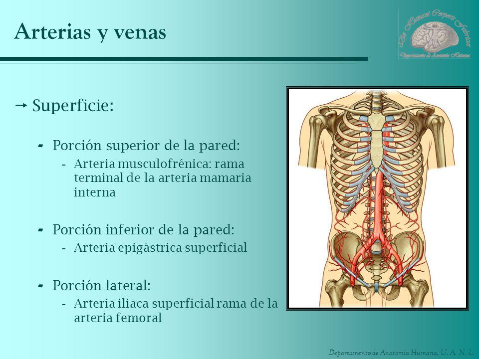 Departamento de Anatomía Humana, U. A. N. L. Arterias y venas Superficie: - Porción superior de la pared: -Arteria musculofrénica: rama terminal de la