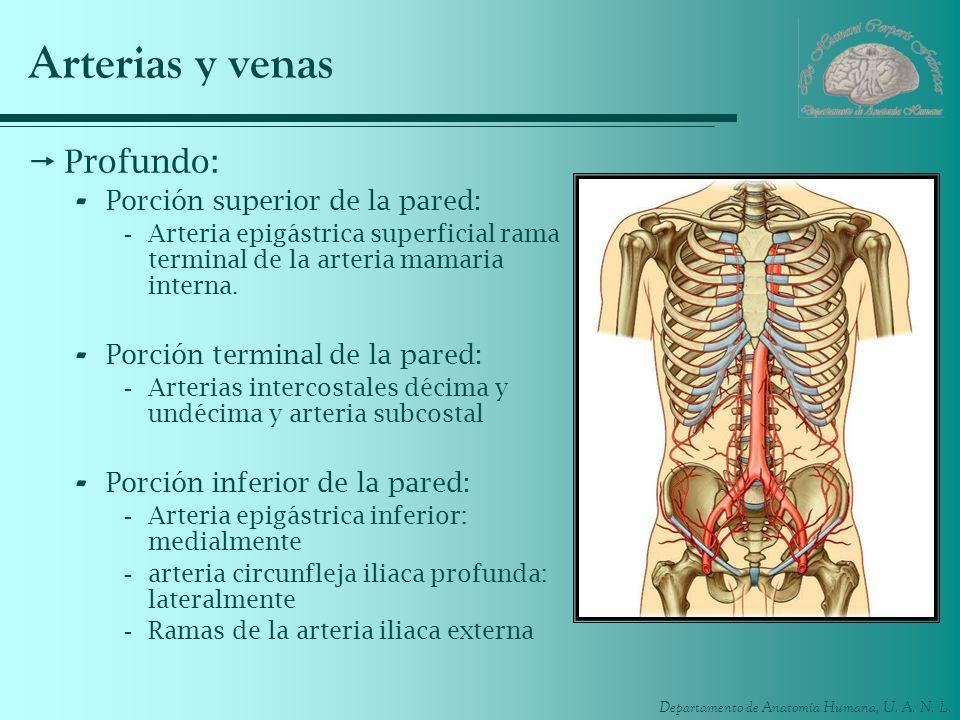 Departamento de Anatomía Humana, U. A. N. L. Arterias y venas Profundo: - Porción superior de la pared: -Arteria epigástrica superficial rama terminal
