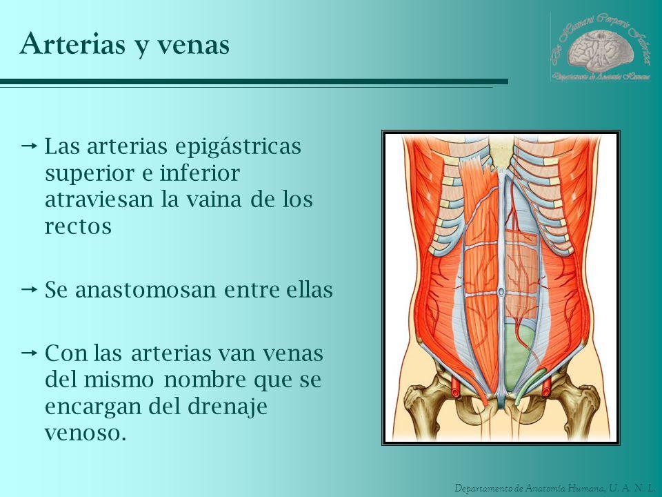 Departamento de Anatomía Humana, U. A. N. L. Arterias y venas Las arterias epigástricas superior e inferior atraviesan la vaina de los rectos Se anast