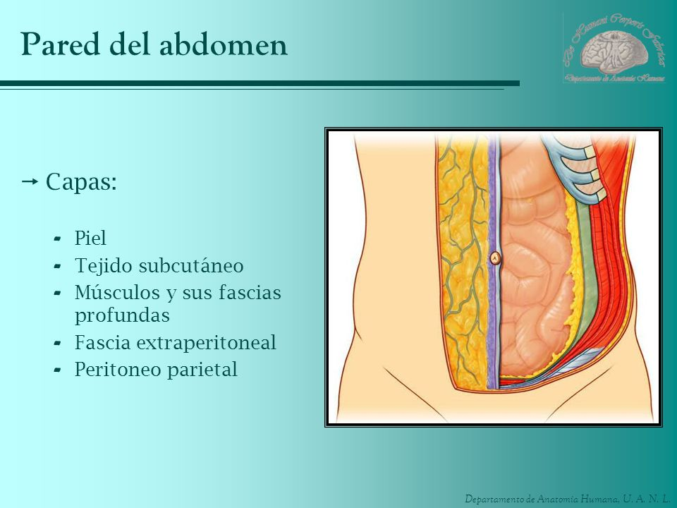 Departamento de Anatomía Humana, U. A. N. L. Pared del abdomen Capas: - Piel - Tejido subcutáneo - Músculos y sus fascias profundas - Fascia extraperi