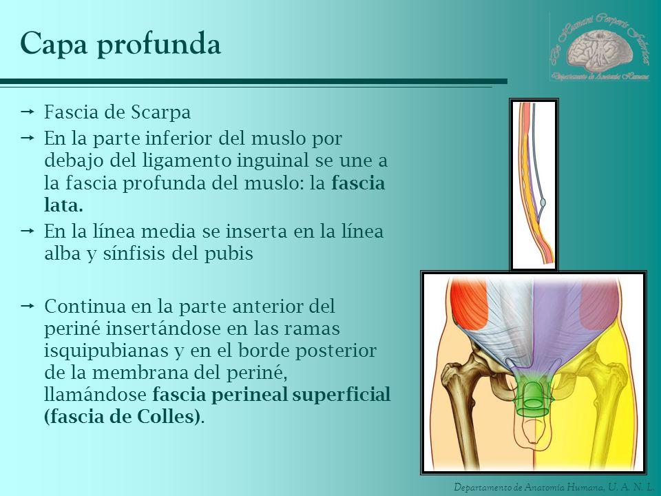Departamento de Anatomía Humana, U. A. N. L. Capa profunda Fascia de Scarpa En la parte inferior del muslo por debajo del ligamento inguinal se une a