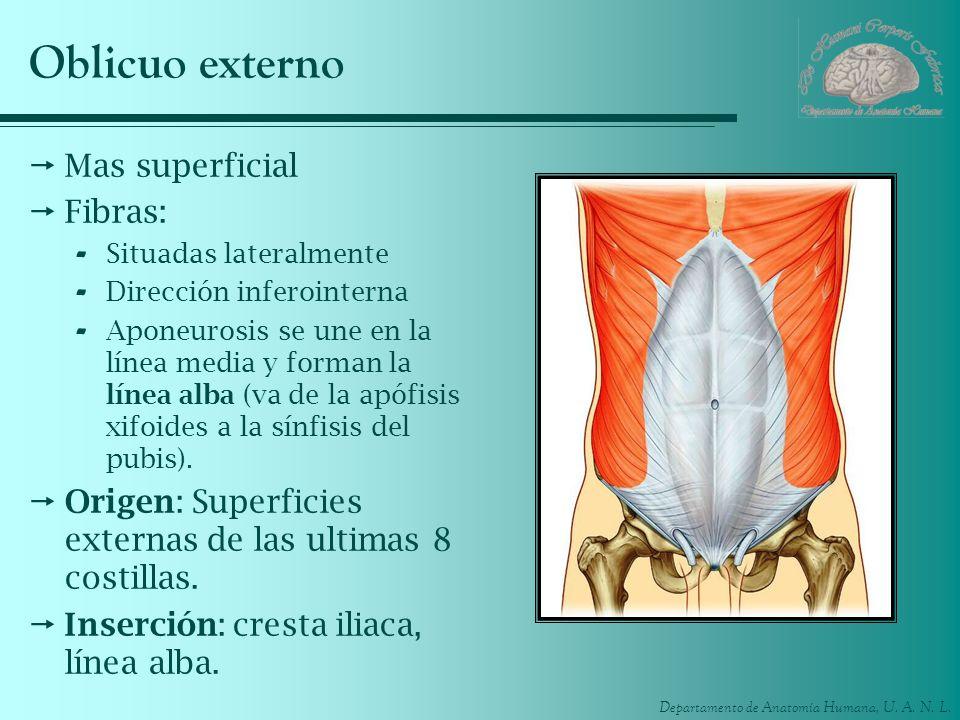 Departamento de Anatomía Humana, U. A. N. L. Oblicuo externo Mas superficial Fibras: - Situadas lateralmente - Dirección inferointerna - Aponeurosis s