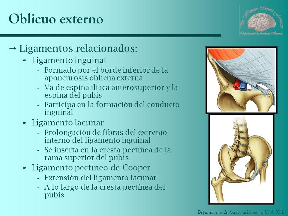 Departamento de Anatomía Humana, U. A. N. L. Oblicuo externo Ligamentos relacionados: - Ligamento inguinal -Formado por el borde inferior de la aponeu