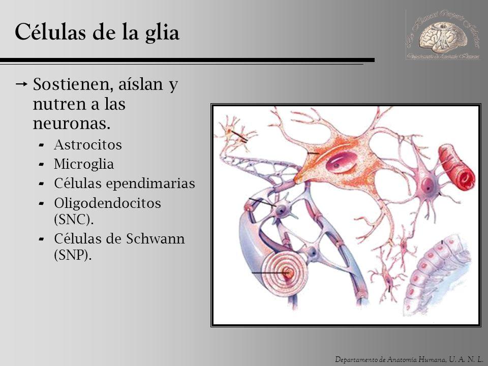 Departamento de Anatomía Humana, U. A. N. L. Células de la glia Sostienen, aíslan y nutren a las neuronas. - Astrocitos - Microglia - Células ependima