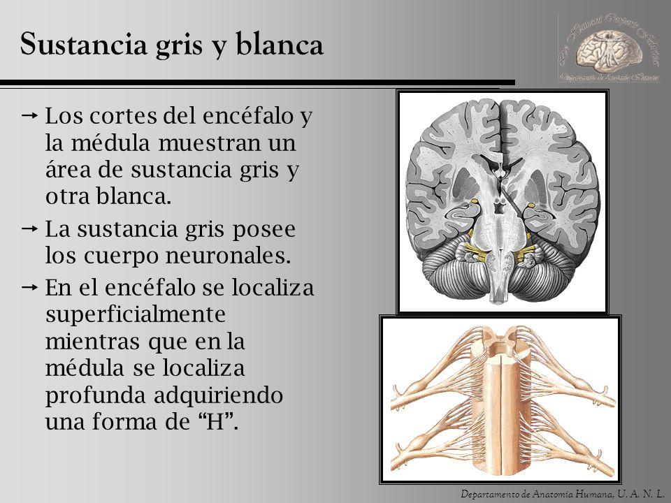 Departamento de Anatomía Humana, U. A. N. L. Sustancia gris y blanca Los cortes del encéfalo y la médula muestran un área de sustancia gris y otra bla