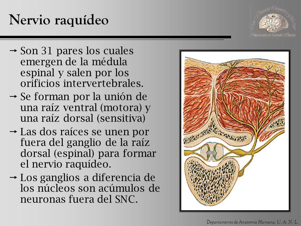 Departamento de Anatomía Humana, U. A. N. L. Nervio raquídeo Son 31 pares los cuales emergen de la médula espinal y salen por los orificios interverte