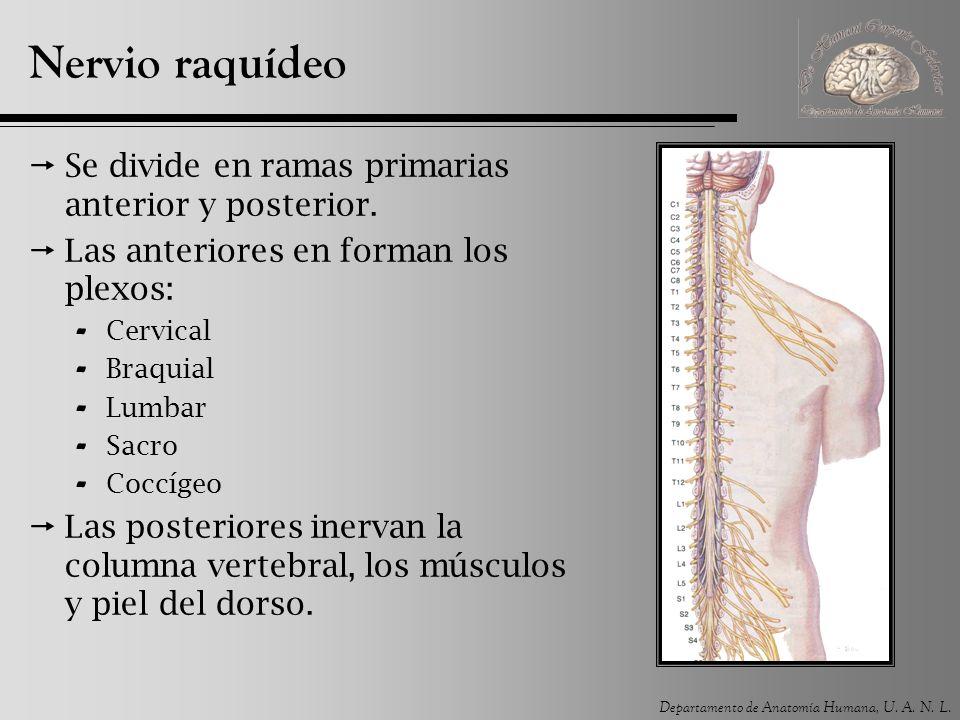 Departamento de Anatomía Humana, U. A. N. L. Nervio raquídeo Se divide en ramas primarias anterior y posterior. Las anteriores en forman los plexos: -