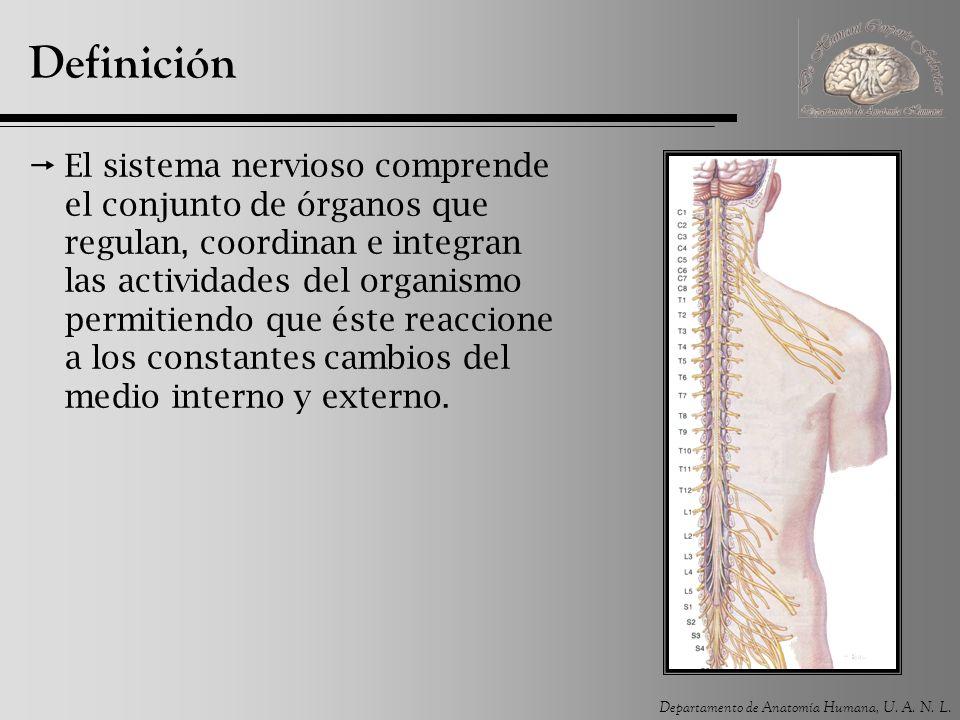 Departamento de Anatomía Humana, U. A. N. L. Definición El sistema nervioso comprende el conjunto de órganos que regulan, coordinan e integran las act