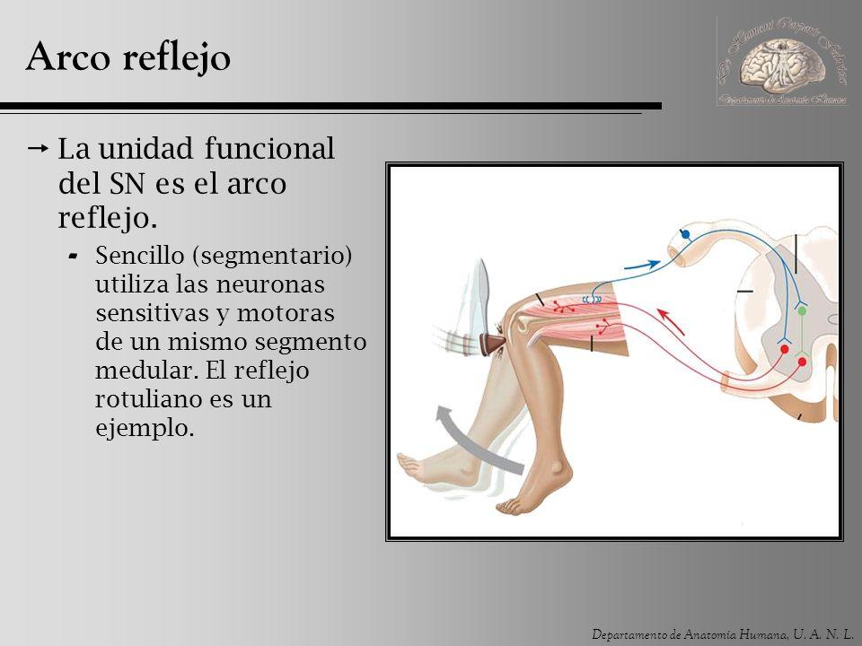 Departamento de Anatomía Humana, U. A. N. L. Arco reflejo La unidad funcional del SN es el arco reflejo. - Sencillo (segmentario) utiliza las neuronas