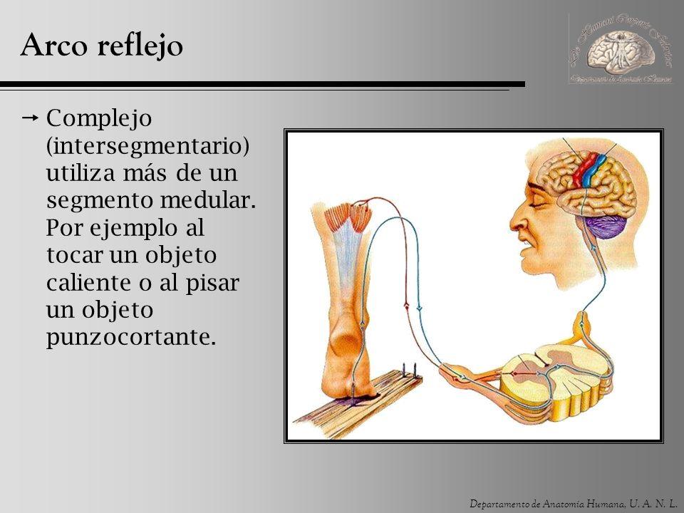 Departamento de Anatomía Humana, U. A. N. L. Arco reflejo Complejo (intersegmentario) utiliza más de un segmento medular. Por ejemplo al tocar un obje