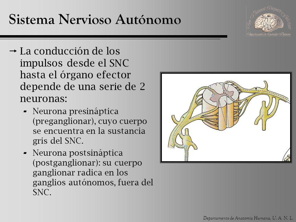 Departamento de Anatomía Humana, U. A. N. L. Sistema Nervioso Autónomo La conducción de los impulsos desde el SNC hasta el órgano efector depende de u
