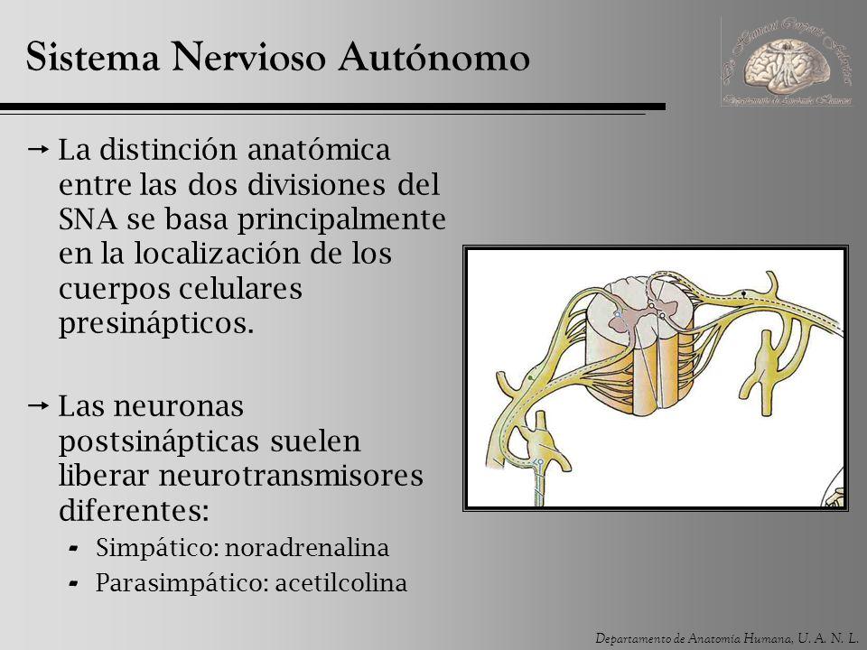 Departamento de Anatomía Humana, U. A. N. L. Sistema Nervioso Autónomo La distinción anatómica entre las dos divisiones del SNA se basa principalmente