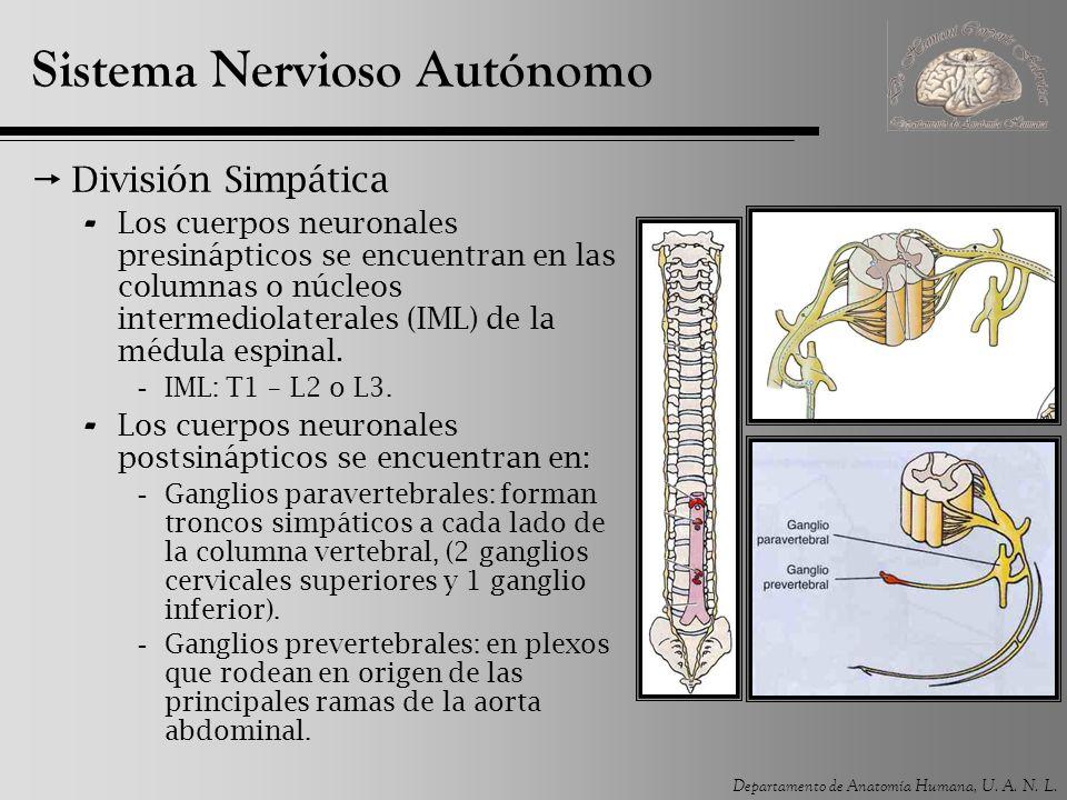 Departamento de Anatomía Humana, U. A. N. L. Sistema Nervioso Autónomo División Simpática - Los cuerpos neuronales presinápticos se encuentran en las