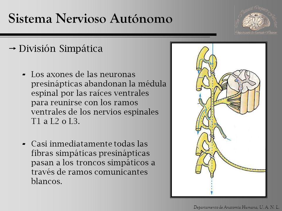 Departamento de Anatomía Humana, U. A. N. L. Sistema Nervioso Autónomo División Simpática - Los axones de las neuronas presinápticas abandonan la médu