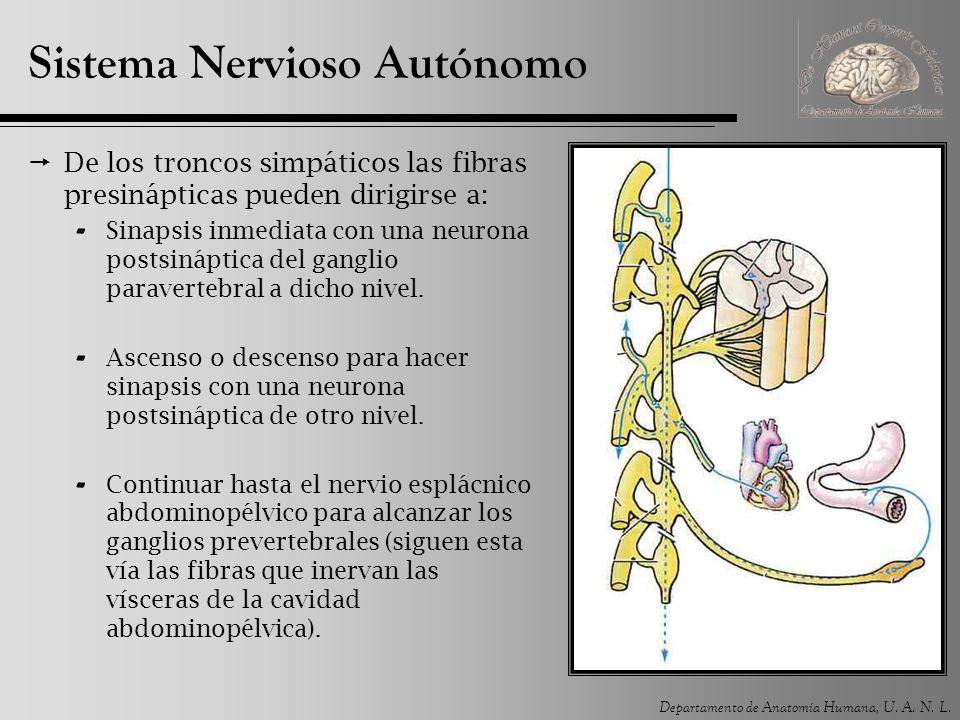 Departamento de Anatomía Humana, U. A. N. L. Sistema Nervioso Autónomo De los troncos simpáticos las fibras presinápticas pueden dirigirse a: - Sinaps