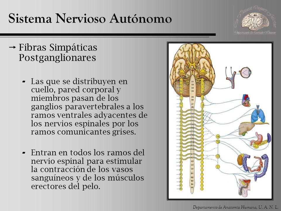 Departamento de Anatomía Humana, U. A. N. L. Sistema Nervioso Autónomo Fibras Simpáticas Postganglionares - Las que se distribuyen en cuello, pared co