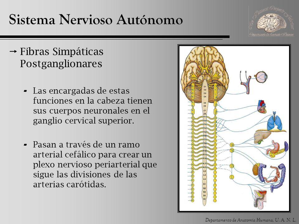 Departamento de Anatomía Humana, U. A. N. L. Sistema Nervioso Autónomo Fibras Simpáticas Postganglionares - Las encargadas de estas funciones en la ca