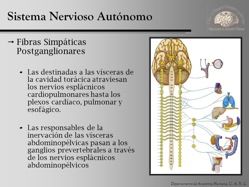Departamento de Anatomía Humana, U. A. N. L. Sistema Nervioso Autónomo Fibras Simpáticas Postganglionares - Las destinadas a las vísceras de la cavida
