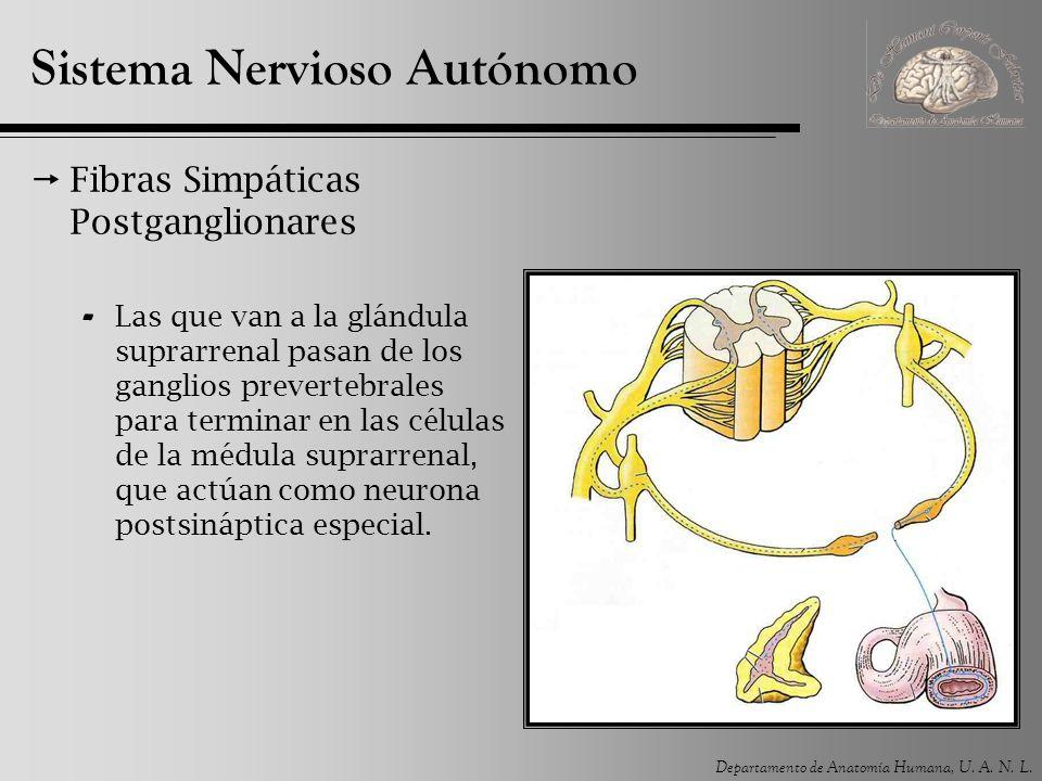 Departamento de Anatomía Humana, U. A. N. L. Sistema Nervioso Autónomo Fibras Simpáticas Postganglionares - Las que van a la glándula suprarrenal pasa