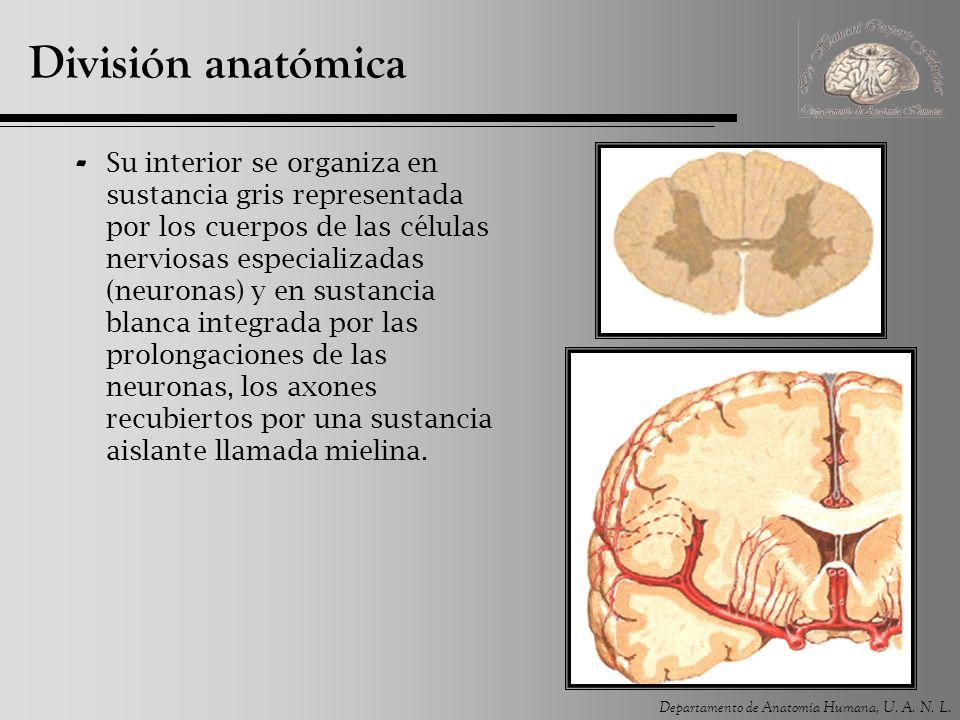 Departamento de Anatomía Humana, U. A. N. L. División anatómica - Su interior se organiza en sustancia gris representada por los cuerpos de las célula