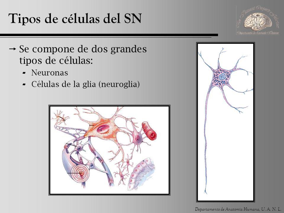 Departamento de Anatomía Humana, U. A. N. L. Tipos de células del SN Se compone de dos grandes tipos de células: - Neuronas - Células de la glia (neur