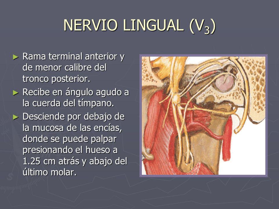 NERVIO LINGUAL (V 3 ) Rama terminal anterior y de menor calibre del tronco posterior. Rama terminal anterior y de menor calibre del tronco posterior.