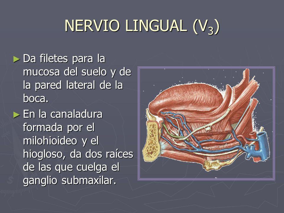 NERVIO LINGUAL (V 3 ) Da filetes para la mucosa del suelo y de la pared lateral de la boca. Da filetes para la mucosa del suelo y de la pared lateral