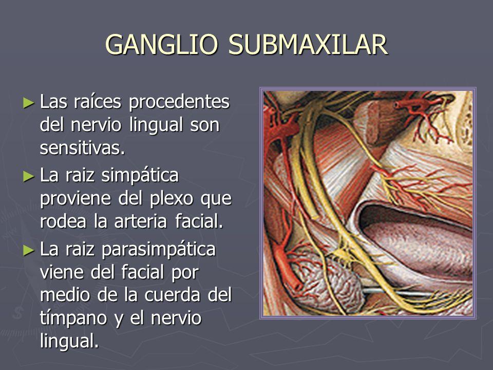 GANGLIO SUBMAXILAR Las raíces procedentes del nervio lingual son sensitivas. Las raíces procedentes del nervio lingual son sensitivas. La raiz simpáti