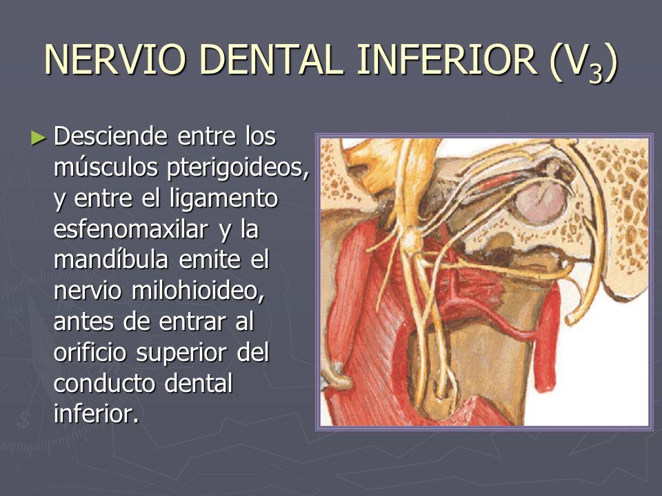 NERVIO DENTAL INFERIOR (V 3 ) Desciende entre los músculos pterigoideos, y entre el ligamento esfenomaxilar y la mandíbula emite el nervio milohioideo