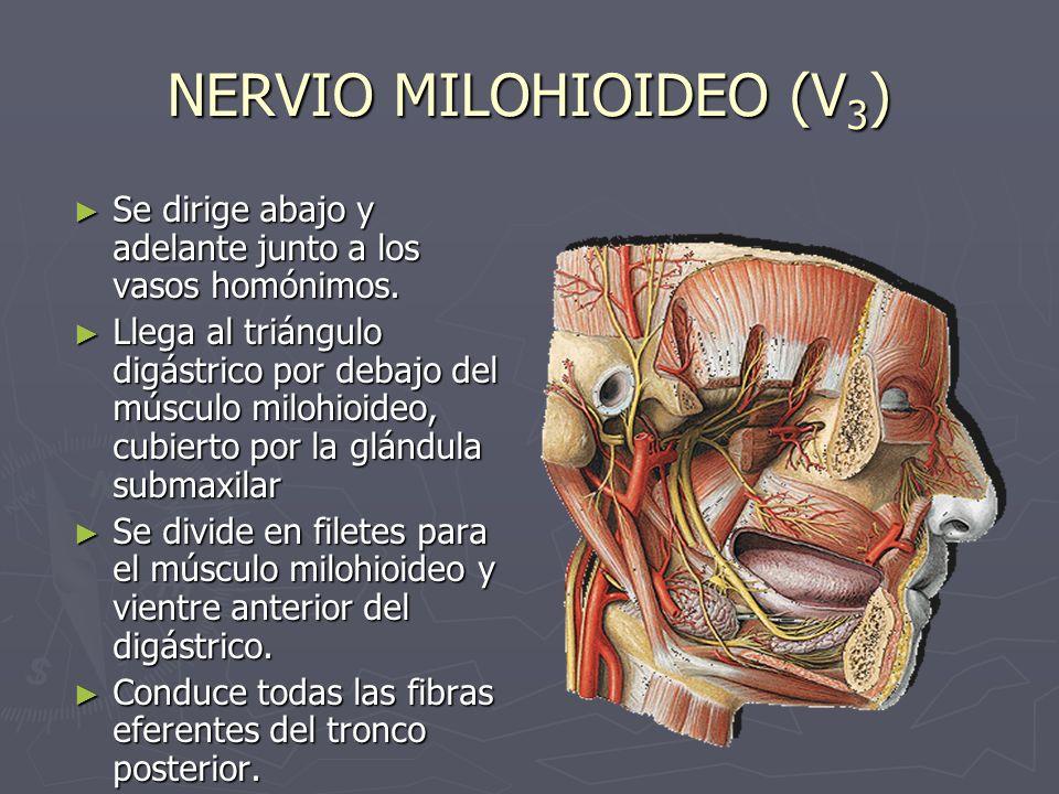 NERVIO MILOHIOIDEO (V 3 ) Se dirige abajo y adelante junto a los vasos homónimos. Se dirige abajo y adelante junto a los vasos homónimos. Llega al tri