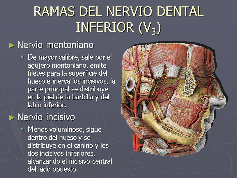 Nervio mentoniano Nervio mentoniano D e mayor calibre, sale por el agujero mentoniano, emite filetes para la superficie del hueso e inerva los incisiv