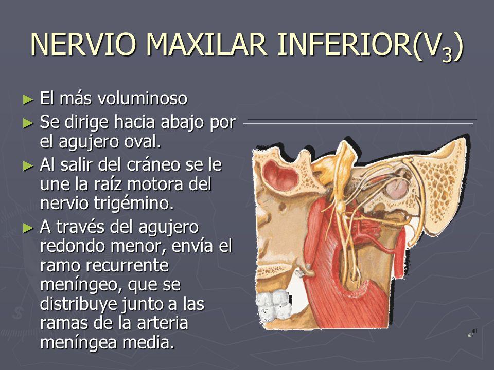 NERVIO MAXILAR INFERIOR (V 3 ) Territorio sensitivo: Territorio sensitivo: piel de la mandíbula, parte lateral de la cabeza y parte de la oreja, mucosa del carrillo, suelo de la boca, 2/3 anteriores de la lengua, encías y dientes inferiores y articulación temporomaxilar.