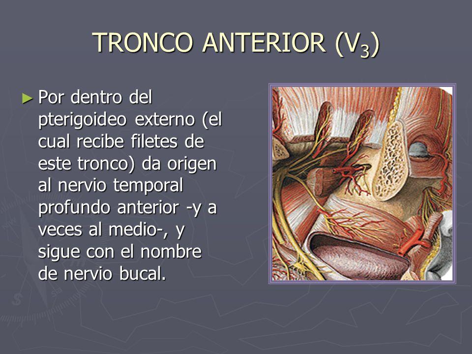 TRONCO ANTERIOR (V 3 ) Por dentro del pterigoideo externo (el cual recibe filetes de este tronco) da origen al nervio temporal profundo anterior -y a
