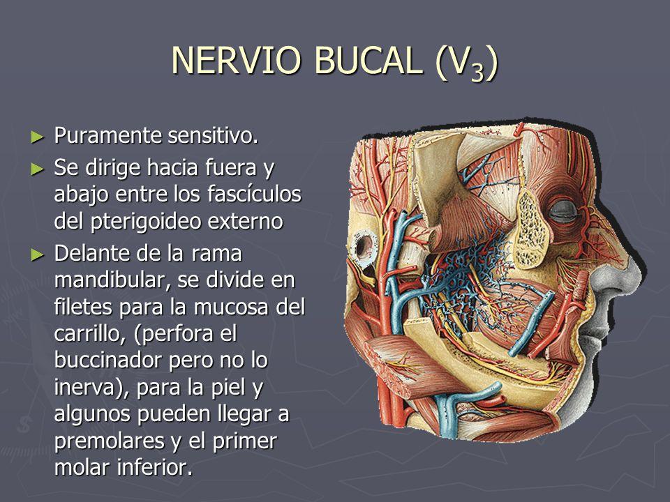 NERVIO BUCAL (V 3 ) Puramente sensitivo. Puramente sensitivo. Se dirige hacia fuera y abajo entre los fascículos del pterigoideo externo Se dirige hac
