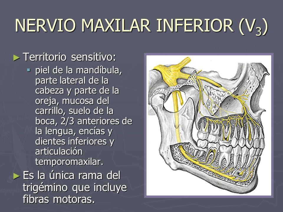 NERVIO DENTAL INFERIOR (V 3 ) Desciende entre los músculos pterigoideos, y entre el ligamento esfenomaxilar y la mandíbula emite el nervio milohioideo, antes de entrar al orificio superior del conducto dental inferior.