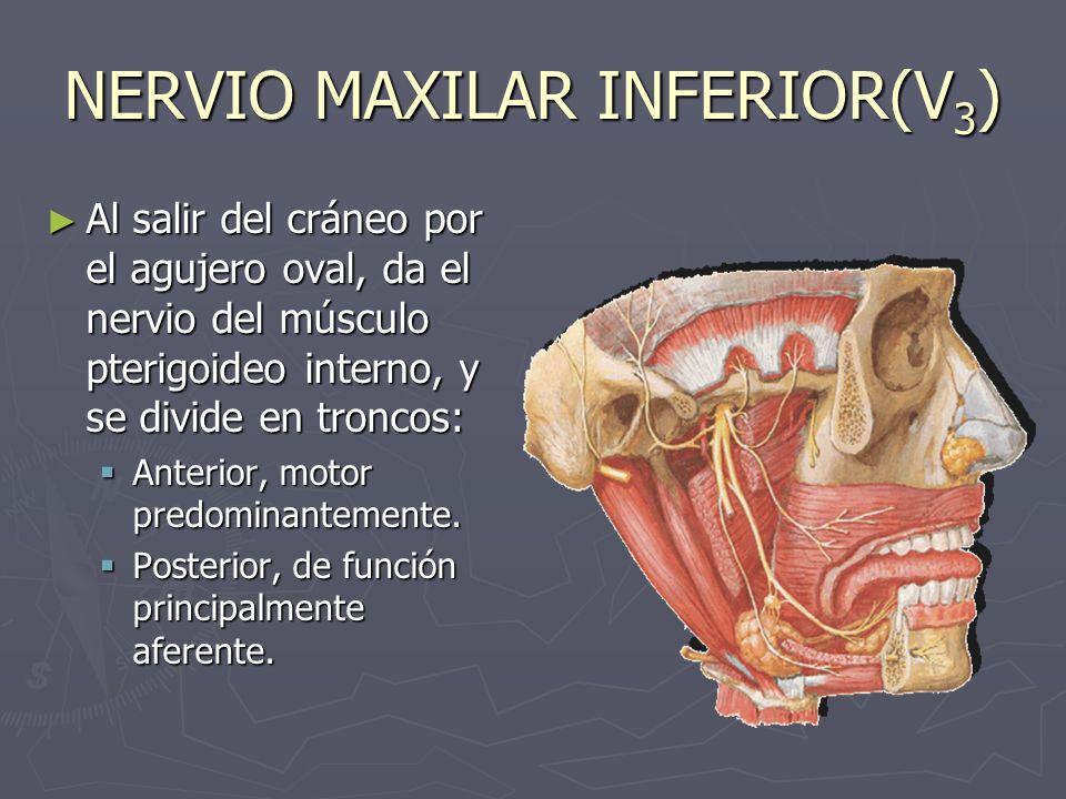 NERVIO MAXILAR INFERIOR(V 3 ) Al salir del cráneo por el agujero oval, da el nervio del músculo pterigoideo interno, y se divide en troncos: Al salir