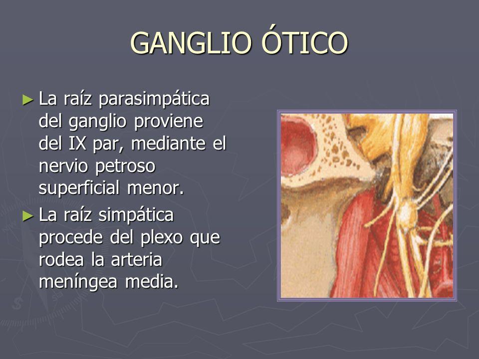 GANGLIO ÓTICO La raíz parasimpática del ganglio proviene del IX par, mediante el nervio petroso superficial menor. La raíz parasimpática del ganglio p