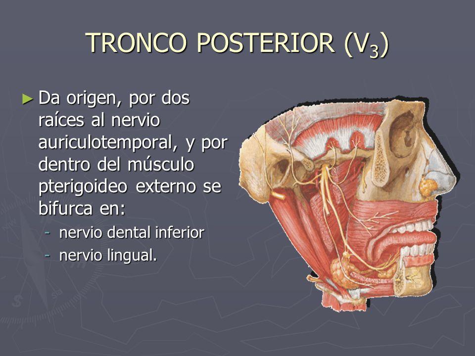 NERVIO AURICULOTEMPORAL (V 3 ) Sus dos raíces rodean la arteria meníngea media, reciben un filete del ganglio ótico y se dirige hacia atrás entre el ligamento esfenomaxilar y el cuello del cóndilo.