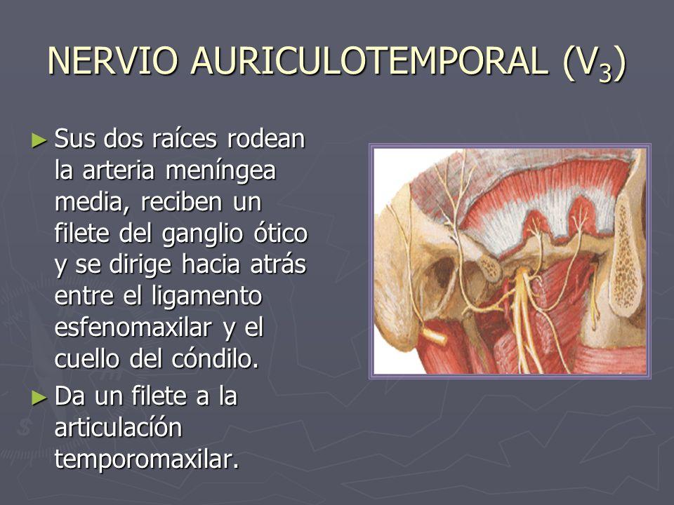 NERVIO AURICULOTEMPORAL (V 3 ) Sus dos raíces rodean la arteria meníngea media, reciben un filete del ganglio ótico y se dirige hacia atrás entre el l