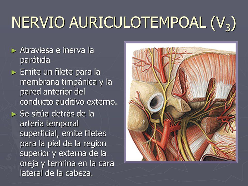 NERVIO LINGUAL (V 3 ) Rama terminal anterior y de menor calibre del tronco posterior.