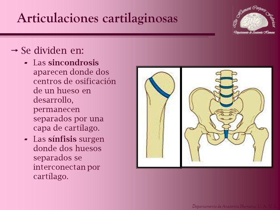 Departamento de Anatomía Humana, U. A. N. L. Articulaciones cartilaginosas Se dividen en: - Las sincondrosis aparecen donde dos centros de osificación