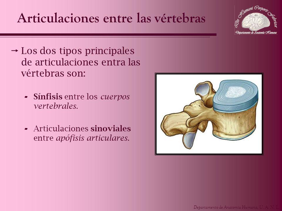 Departamento de Anatomía Humana, U. A. N. L. Articulaciones entre las vértebras Los dos tipos principales de articulaciones entra las vértebras son: -