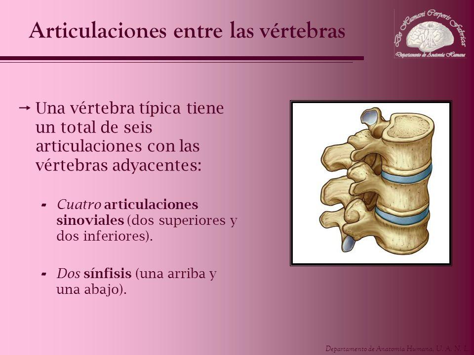 Departamento de Anatomía Humana, U. A. N. L. Articulaciones entre las vértebras Una vértebra típica tiene un total de seis articulaciones con las vért